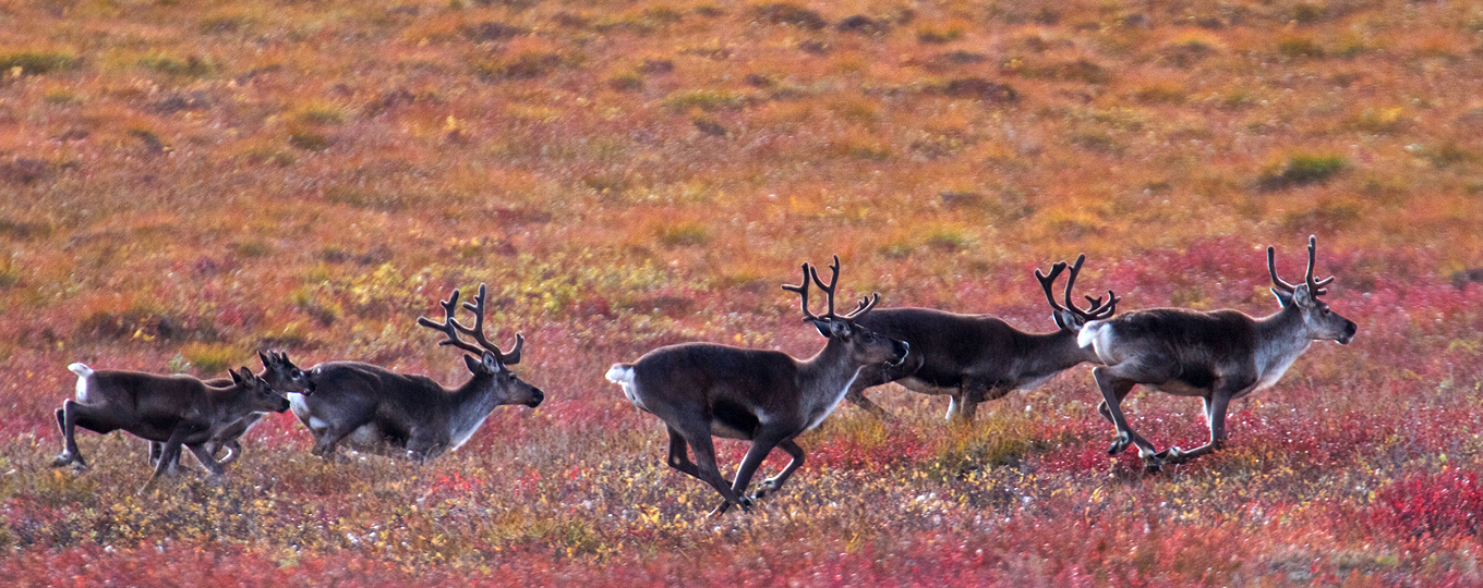Fall caribou migration